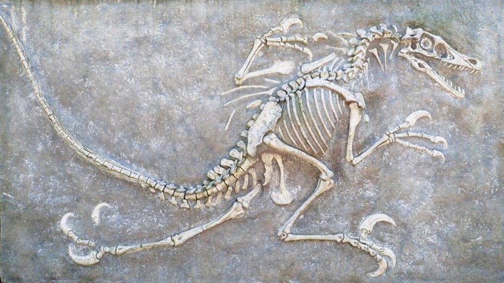 Fossil of a velociraptor